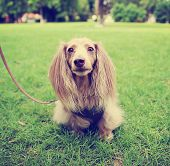 foto of spayed  - a miniature long haired dachshund with isabella coloring sitting in the grass in a local park toned with a retro vintage instagram filter  - JPG