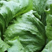 picture of iceberg lettuce  - Fresh Iceberg Lettuce with Waterdrops in Germany - JPG