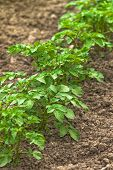 picture of potato-field  - Row of Green Potato Plants in Agricultural Cultivated Vegetable Plantation Field Selective Focus  - JPG