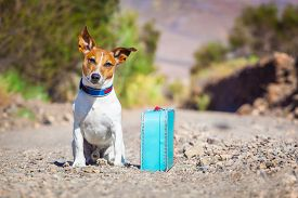 pic of sabbatical  - jack russell dog abandoned and left all alone on the road or street with luggage bag or suitcase begging to come home to owners - JPG