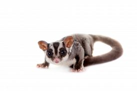 stock photo of glider  - Sugar glider, Petaurus breviceps, isolated on white background
