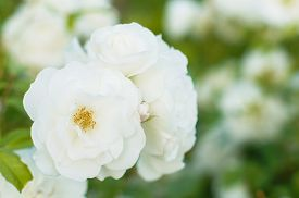 foto of garden eden  - White roses on the bush in the summer garden - JPG