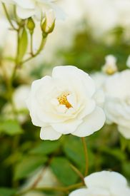 stock photo of garden eden  - White roses on the bush in the summer garden - JPG