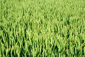 Green Wheat Crops