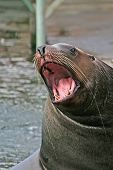 Roaring Sea Lion.