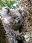 Young Koala - Victoria Austalia