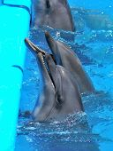 picture of cetacea  - Dolphins yearn for fish in a pool at dolphinarium - JPG