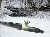 Polar bear in an ice-hole of the river held down by ice