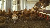 The Chicken On The Farm. Chicken In The Hen House. Poultry Farm With Chicken. Laying Hen On Poultry  poster