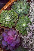 Composition With Succulents. Mini Succulent Garden, Flora poster