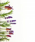 A border made of healing herbs (lavender and rosemary) on a white background isolated