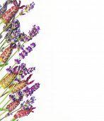 Biologische herb grens. Verschillende soorten Engelse lavendel