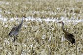 A Pair Of Sandhill Cranes Courting In A Corn Field poster