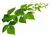 Green Leaves Of Raspberry, Garden Raspberry,  Leaves On White Background. Blackberry Leaves. poster