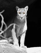 A Mountain Lion'S Eyes