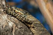 Goanna In Tree