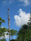 picture of contortion  - Contorted tree in the Pine Flatwoods of southwest Florida - JPG
