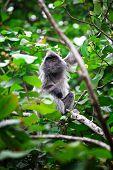 Silver Leave Monkey in bako park, borneo malaysia