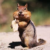 picture of full cheeks  - western chipmunk - JPG
