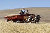 Wagon Filled With Wheat.