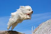 Havanese jumping