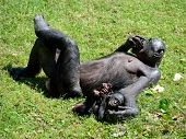Bonobo Ape Taking Care of Baby