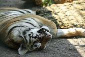 Amur Tiger Sleeping At Enclosure In Zoo poster