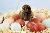 Araucana Küken und Eier