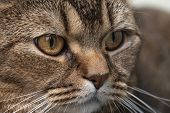 Charming British Shorthair Cat Anxiously And Intently Looks To The Side, On A Blurred Background. Ma poster