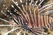 Spotfin Lionfish with Parasites under Fin
