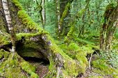 Mossy trunks in a virgin mountain Beech forest, NZ