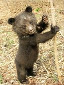 foto of bear cub  - Bear cub in the center of rehabilitation of animals - JPG