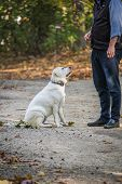 A White Labrador Retriever Is Getting Obedience Training From A Human In An Outdoor Park poster