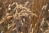 Blurred Golden Grass Background, Ripe Wheat Ears In A Field, Ears Of Golden Wheat Close Up. Backgrou poster