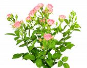 Boeket van roze rozen met groene Leafes