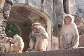 Four monkeys in Galta Ji Mandir Temple (Monkey Temple) near Jaipur, India poster