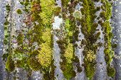 Closeup Of Old Slate Roof Covered With Green Moss After The Rain. Green Moss Texture, Natural Backgr poster