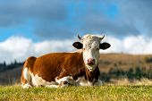Brown Cow On Pasture In Mountains poster