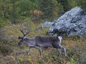 Close Up Big Cute Male Reindeer Profile View, Walking In Bushes And Autumn Forest. Animal In Wild In poster