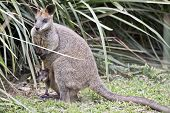 The Swamp Wallaby With A Joey In Her Pouch Is Hiding In The Bushes poster