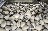 Lyrate Asiatic Hard Clam, Also Known As Meretrix Lyrata. Supermarket Frozen Food Cabinet poster