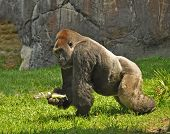 foto of gorilla  - The Gorilla is the largest among the apes and most closely related to humans - JPG