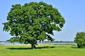 Lonely Big Tree In Green Field On A Background Clear Sky poster
