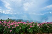 Spring Flower Pink Field / Colorful Cosmos Flower Blooming In The Beautiful Garden Flowers On Hill L poster