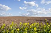 Spring Rapes Blossoms And New Tillage