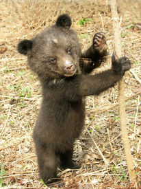 image of bear-cub  - Bear cub in the center of rehabilitation of animals - JPG