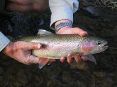 foto of trout fishing  - rainbow trout - JPG