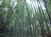 Bamboo Grove At Arashiyama, Kyoto - Japan