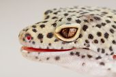 A Beautiful Portrait Of A Leopard Gecko