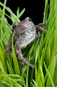 Tree Frog In Grass